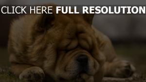 falten traum gesicht hund