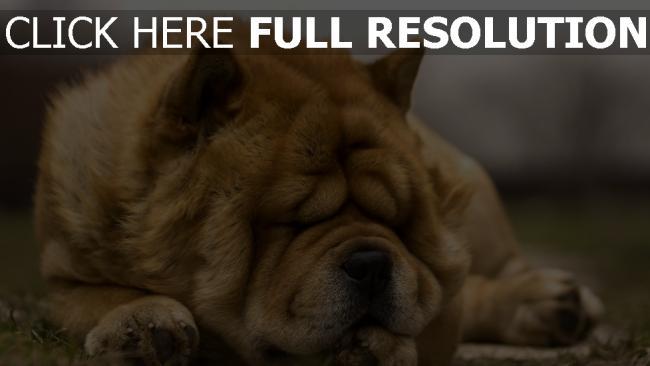 hd hintergrundbilder falten traum gesicht hund