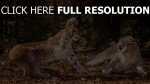 aggression blätter kämpfen leoparden wald