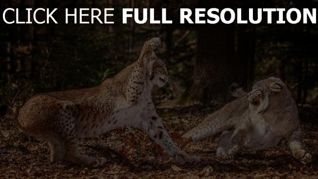 hd hintergrundbilder aggression blätter kämpfen leoparden wald
