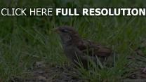 vogel gras close-up sperling kräuter hid