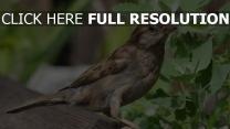 vogel sommer sperling