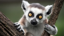 lemur natur affe ring-tailed
