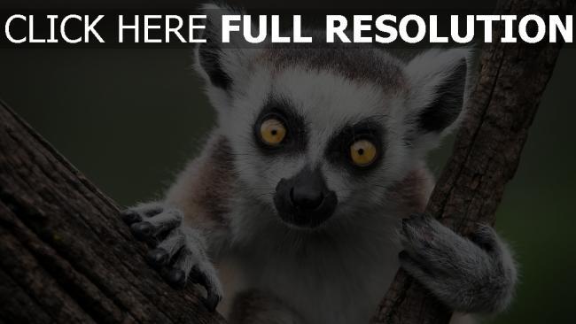 hd hintergrundbilder lemur natur affe ring-tailed