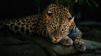 leopard stein schauen raub entspannung