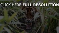 räuber kiefer wut gras tiger zähne
