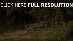 wild raubtier katze jaguar