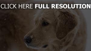 schnauze traurigkeit schnee hund