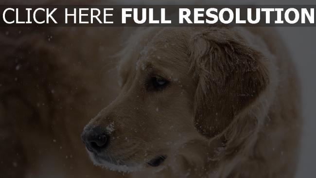 hd hintergrundbilder schnauze traurigkeit schnee hund