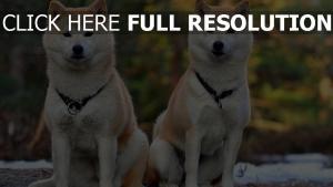 akita inu paar hund schön
