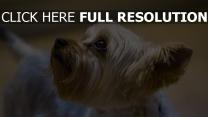 terrier hund maulkorb yorkshire