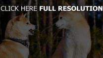 akita inu hund paare unterhaltung