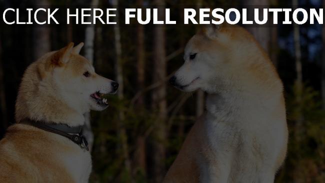 hd hintergrundbilder akita inu hund paare unterhaltung