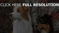 paar flauschige hunde