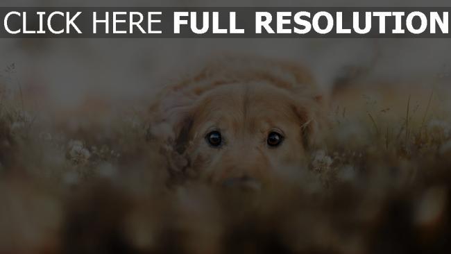 hd hintergrundbilder gesicht augen hund