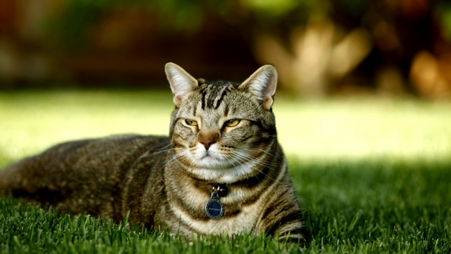 hd hintergrundbilder gras unten liegen katze gestreift