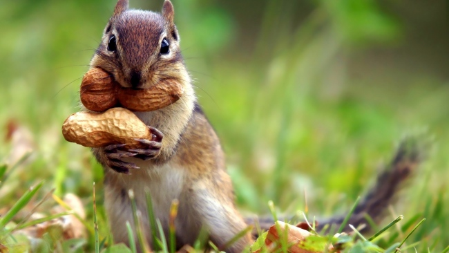 hd hintergrundbilder kräuter nüsse chipmunk