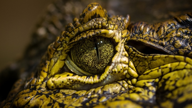 hd hintergrundbilder augen flecken krokodil