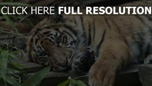 gras liegen tiger