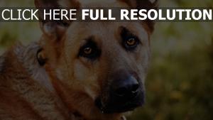 schnauze traurigkeit augen hund