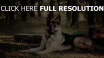 schäferhund liegen hund blätter bäume