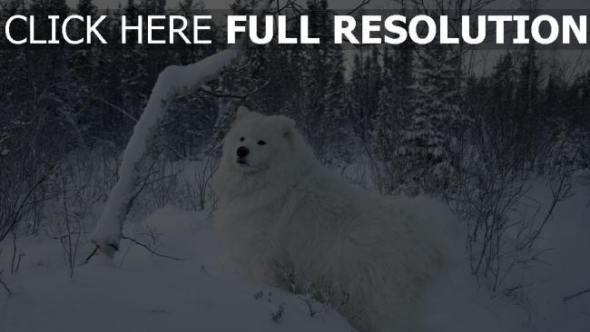 hd hintergrundbilder schnee spaziergang hund bäume