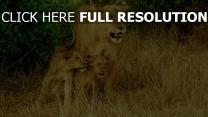 familie löwen spaziergang gras