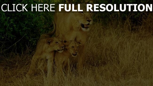 hd hintergrundbilder familie löwen spaziergang gras