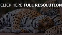 paar unten liegen leoparden ruhe
