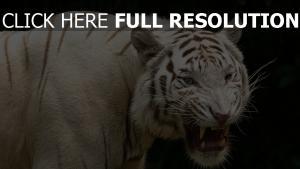 zähne raub albino tiger aggression