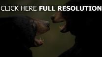 paar aggression bären