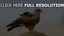 vogel stein adler