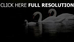 vögel wasser schwimmen schwäne