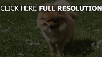 hund gras miniatur spitz