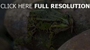 amphibie stein frosch
