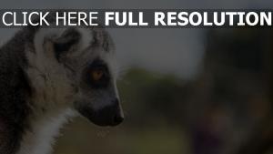 maulkorb blick profil lemuren