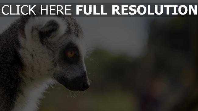 hd hintergrundbilder maulkorb blick profil lemuren