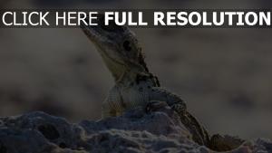 reptil steine kopf eidechse