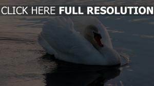 schwimmen wasser vogel schwan