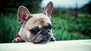 französisch bulldogge maulkorb hund