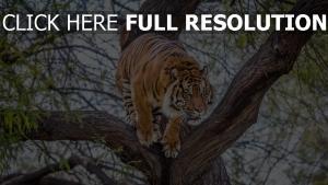 baum räuber tiger