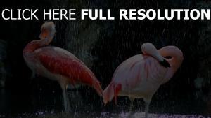 vögel tropfen wasser flamingos