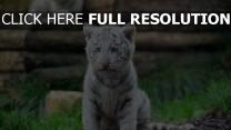 tiger weiß wild jung kätzchen raubtier katze