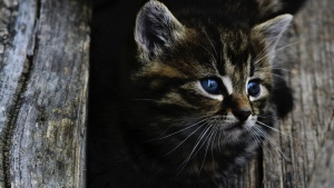 augen gesicht flauschige kätzchen
