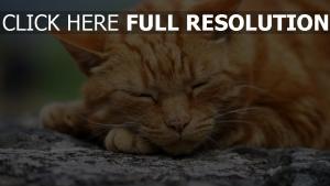 dick gesicht schlafen katze