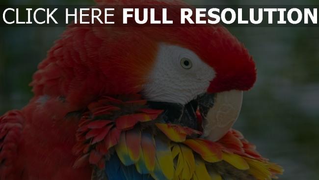 hd hintergrundbilder federn hell farbe papagei