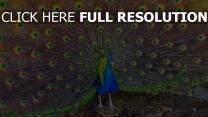 pfau schönheit vogel