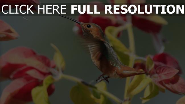 hd hintergrundbilder blumen vogel zweig kolibri