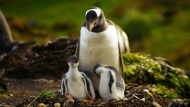 jung gras wandern pinguin