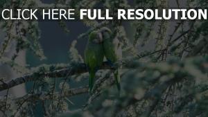 zärtlichkeit paar zweig papageien